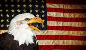 American Bald Eagle with Flag. American Bald Eagle - symbol of america -with flag. United States of America patriotic symbols Royalty Free Stock Images