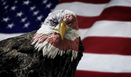 American Bald Eagle on Flag. Oil painting of a majestic Bald Eagle with the USA flag across it's face against a photo of a blurry American Flag Royalty Free Stock Images
