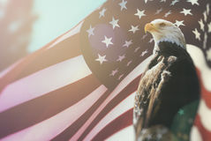 American Bald Eagle Flag Patriotism. Bald Eagle, symbol of American freedom, perched in front of an American flag. United States of America patriotic symbols royalty free stock photos