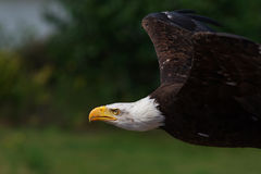 American Bald Eagle in flight Stock Image