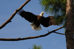 American Bald Eagle in flight Royalty Free Stock Image