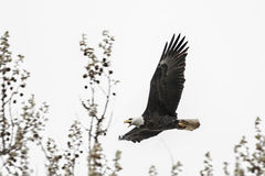 American bald eagle in flight Royalty Free Stock Images