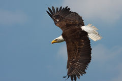 American Bald Eagle in flight Stock Images