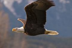 American Bald Eagle In Flight Stock Photography