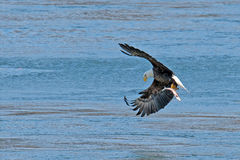 American Bald Eagle In in Flight With Fish Stock Photo