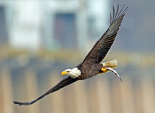American Bald Eagle In  Flight With Fish Royalty Free Stock Photos