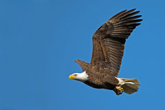 American Bald Eagle In  Flight With Fish Royalty Free Stock Photography