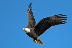 American Bald Eagle. In Flight with Fish Tucked Royalty Free Stock Image