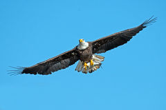 American Bald Eagle. In Flight with Fish Tucked stock image