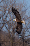 American Bald Eagle in flight Royalty Free Stock Photography