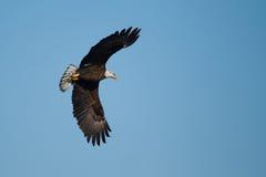 American Bald Eagle in flight Royalty Free Stock Photos
