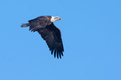 American Bald Eagle in flight Stock Photo