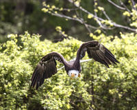 American Bald Eagle Royalty Free Stock Image