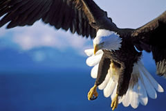 Bald Eagle in flight, close up. Bald Eagle in flight over water, close up stock photo