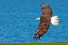 American Bald Eagle. In flight with Shoreline and Water as a background Royalty Free Stock Images