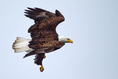 American Bald Eagle flying Stock Photo