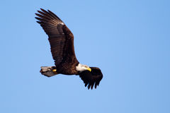 American Bald Eagle flying Stock Photography