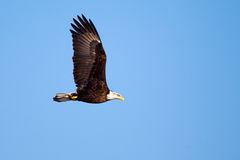 American Bald Eagle flying Stock Photos