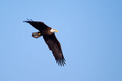 American Bald Eagle flying Royalty Free Stock Photography