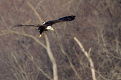 American Bald Eagle flying Royalty Free Stock Image
