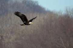 American Bald Eagle flying Stock Image