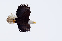American Bald Eagle flying Royalty Free Stock Images