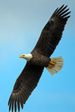 American Bald Eagle. American Bald Bald Eagle flying against blue sky Stock Photography