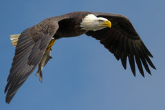 American Bald Eagle. American Bald Bald Eagle flying against blue sky with fish stock image