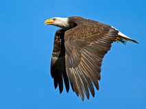 American Bald Eagle. American Bald Bald Eagle flying with fish tucked Royalty Free Stock Images