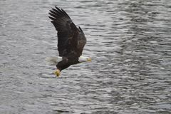 Bald Eagle Flying with a Fish in its Talons. American Bald Eagle Flying with a freshly caught fish in its talons royalty free stock photos