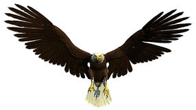 American bald eagle flying and hunting. An great american bald eagle hunting Stock Photos