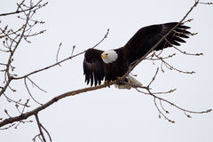 American Bald Eagle flying Royalty Free Stock Photo
