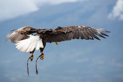 American Bald Eagle flying in Otavalo, Ecuador Stock Photography