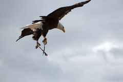 American Bald Eagle flying in Otavalo, Ecuador Stock Image