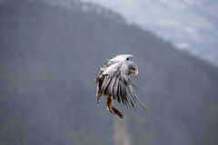 American Bald Eagle flying in Otavalo, Ecuador Royalty Free Stock Photos