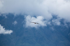 American Bald Eagle flying in Otavalo, Ecuador Stock Images