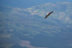 American Bald Eagle flying in Otavalo, Ecuador Stock Photos