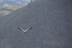 American Bald Eagle flying in Otavalo, Ecuador Royalty Free Stock Photography