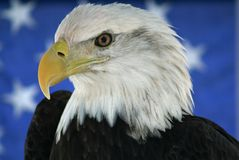American bald eagle. Eagle in front of the American flag Royalty Free Stock Photography
