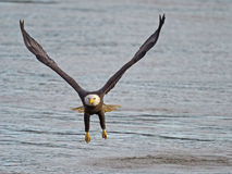 American Bald Eagle Gear Down Royalty Free Stock Image