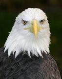 American Bald Eagle (Haliaeetus leucocephalus) Royalty Free Stock Photography