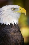 American Bald Eagle (Haliaeetus leucocephalus). Profile in dramatic lighting royalty free stock photo