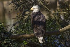 American Bald Eagle Haliaeetus leucocephalus Stock Photos