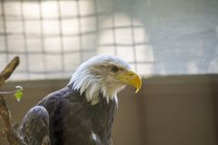 American Bald Eagle Haliaeetus leucocephalus Stock Photography