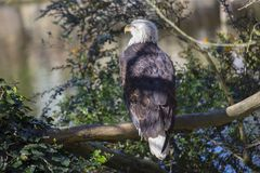 American Bald Eagle Haliaeetus leucocephalus Royalty Free Stock Photography