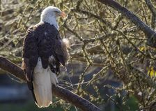 American Bald Eagle Haliaeetus leucocephalus Stock Photo