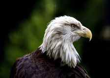 American Bald Eagle Haliaeetus leucocephalus Royalty Free Stock Images