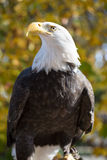 American Bald Eagle (Haliaeetus leucocephalus) Stock Images