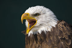 American bald eagle (Haliaeetus leucocephalus) royalty free stock photos