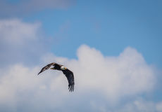 American Bald Eagle Haliaeetus leucocephalus soars in a blue and cloudy sky. In Maine Stock Photography